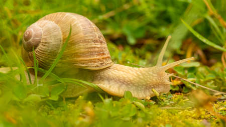 A big snail in the garden after the rain