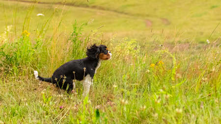 A dog cavalier king charles, a cute puppy trying to catch grasshoppers