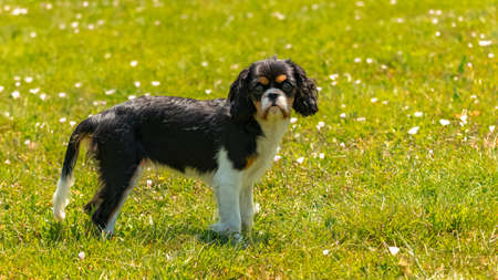 A dog cavalier king charles, a cute puppy running on the lawn 스톡 콘텐츠