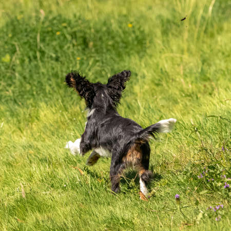 A dog cavalier king charles, a cute puppy running on the lawn