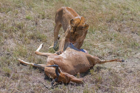 lions who killed an antelope and are eating it in the savannah in Tanzania
