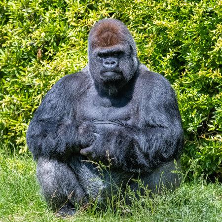 Gorilla, monkey, dominating male sitting in the grass, funny attitude Foto de archivo