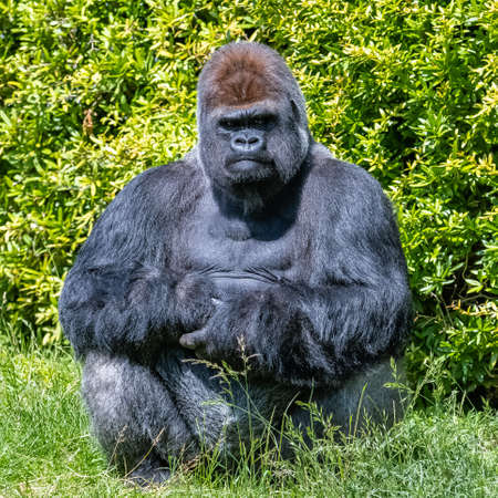 Gorilla, monkey, dominating male sitting in the grass, funny attitude 免版税图像