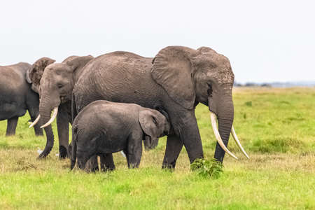 elephants playing together in Africa, cute animals in the Amboseli park in Kenya Stock Photo