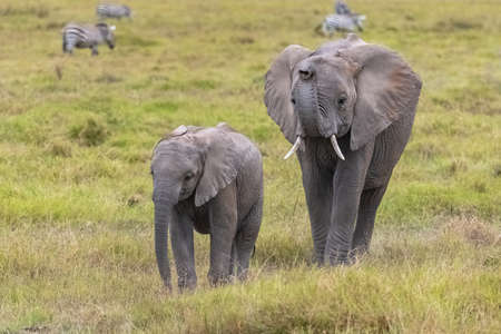 elephants playing together in Africa, cute animals in the Amboseli park in Kenya