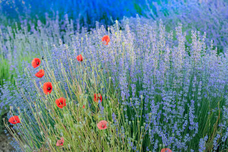 Lavender field in Provence, colorful landscape in spring, with poppies Фото со стока