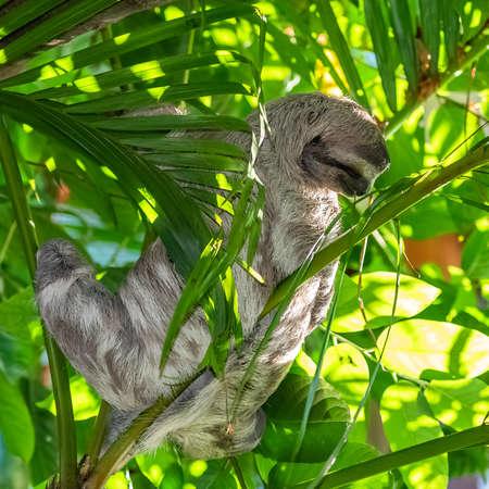 Brown-throated Sloth, Bradypus Variegatus, sloth sleeping on a tree in Costa Rica Фото со стока