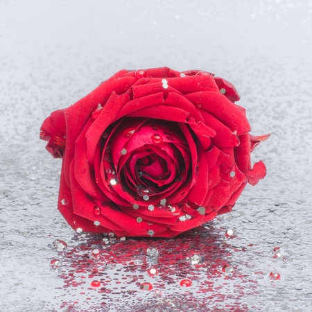Red rose with water drops isolated on a silvery glitter background