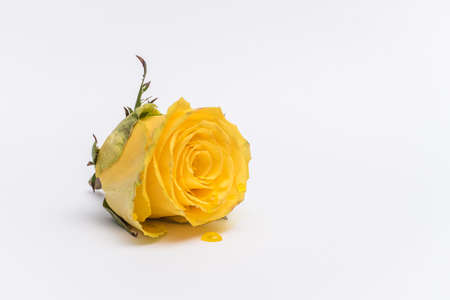 Yellow rose with yellow drops isolated on a white background
