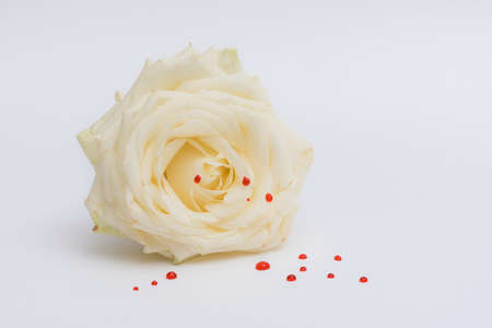 White rose with red drops isolated on a white background