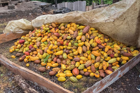 yellow brown Cacao pods, full frame close up, Sao Tome and Principe