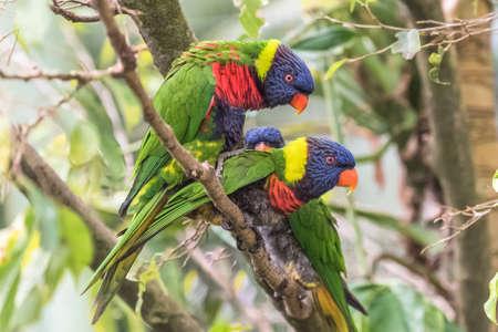 Rainbow lorikeet, beautiful parrots Stockfoto