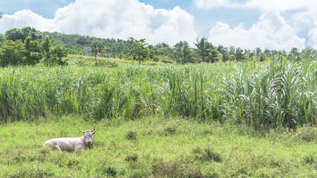 Sugar cane field in Marie-Galante island, in Guadeloupe, with a typical cow lying