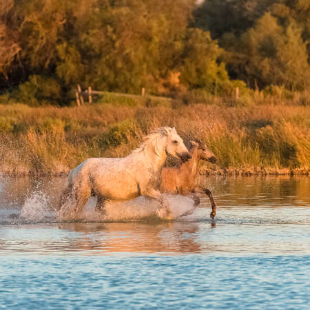 Horses running in the water, beautiful wild horses in Camargue