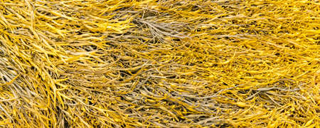 Seaweeds on the beach in Brittany, kelp, background