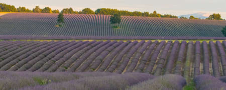 Lavender field in Provence, colorful landscape in spring, geometric pattern