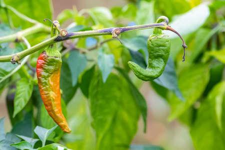 Espelette chilli pepper in a field, cultivation in the Basque country Standard-Bild