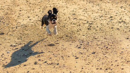 A dog cavalier king charles, a cute puppy running on the beach 스톡 콘텐츠