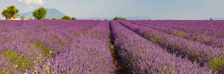 Lavender field in Provence, colorful landscape in spring