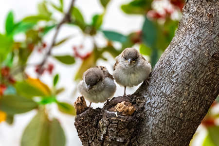 Two babies sparrows waiting for their mother to feed them