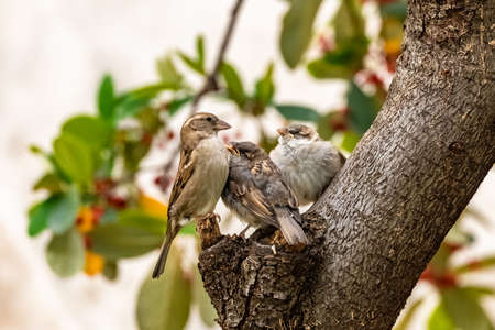 A baby sparrow waits for his mother to feed him