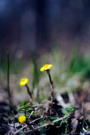 Coltsfoot is a species of herbaceous plants in the Asteraceae family