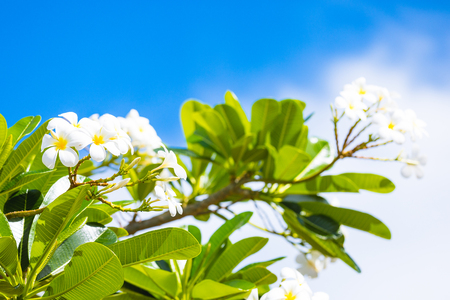 White and yellow frangipani flowers with blue sky in background