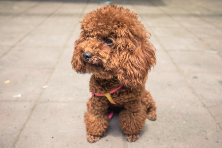 attentive toy poodle sitting in street during day