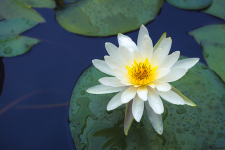 white Lotus flower and Lotus flower plants in a pond .