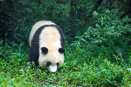 Jedna dorosła panda wielka spacerująca po lesie w Chinach, Azja