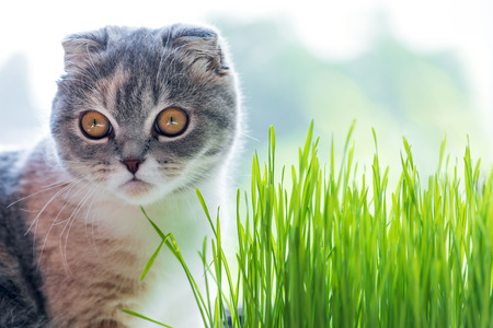 Cute cat and a pot with green organic grass