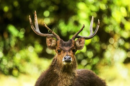 pascal: Mauritian Stag