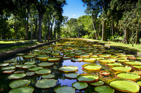 pascal: Giant water lilies from Mauritius