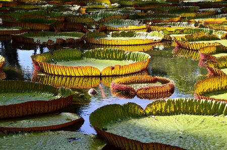 Giant water lilies from Mauritius