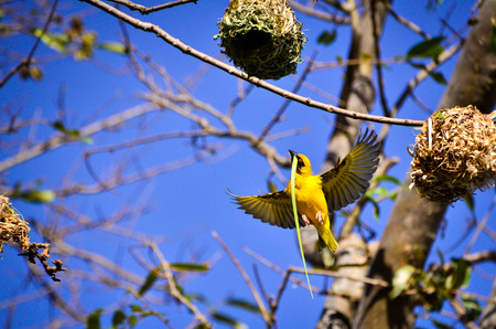Cape canary yellow building nest