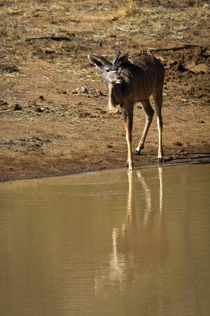 the water hole: Female kudu at the water hole Stock Photo