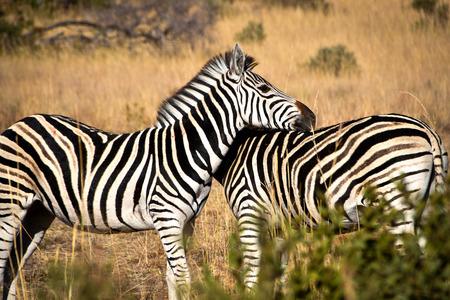 head and shoulder: zebras zebras head on shoulder