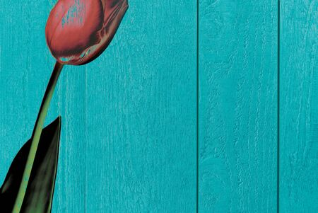 Background of blue-green textured wood with a red tulip, copy space