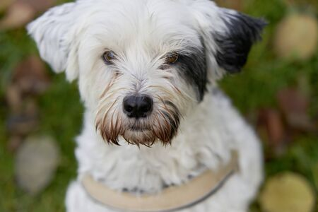 portrait tibet terrier looking at the camera with a faithful look in nature