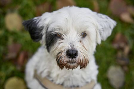 Closeup of a white tibet terrier with a brown snout with an expectant look and unsharp greenery in background