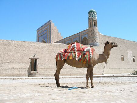 kiva: Camel in Khiva, Uzbekistan Stock Photo