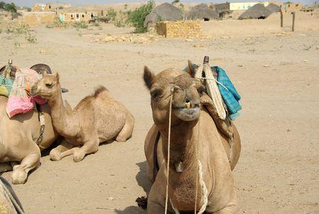 thar: Camel head in Rajasthan