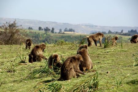 Gelada baboons, Ethiopia Stock Photo