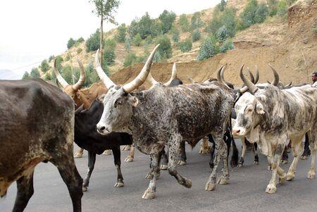 Cows in Ethiopia Stock Photo