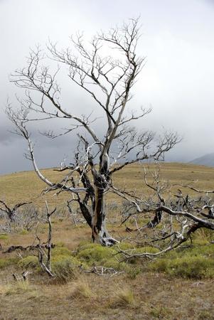 dead tree: Dead tree, Chile