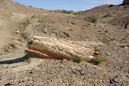 petrified fossil: Petrified forest in Patagonia