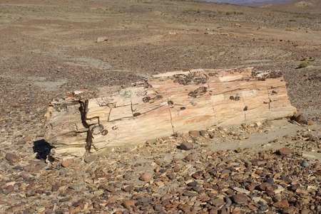 petrified fossil: Petrified wood in Patagonia