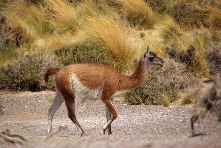 guanaco: Guanaco in Patagonia