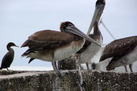 animal pouch: Pelican in Guatemala Stock Photo
