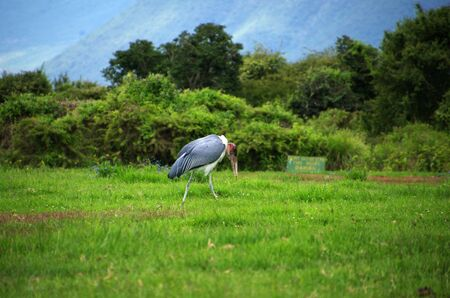 Marabou stork in Tanzania